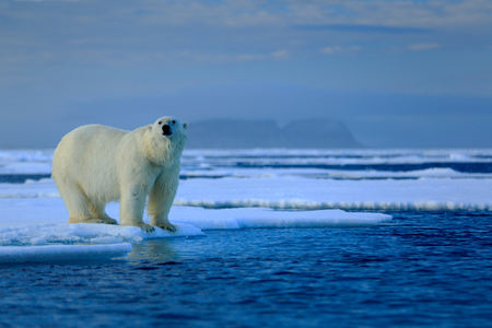 Big polar bear on drift ice edge with snow a water in Arctic Svalbard