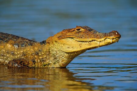 devour: Portrait of Yacare Caiman in blue water, Cano Negro, Costa Rica