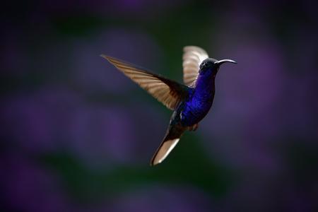 hummingbird: Flying big blue Hummingbird Violet Sabrewing with blurred dark violet flower in background