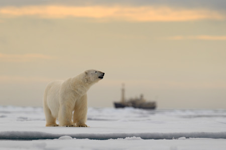 snow drift: Polar bear on the drift ice with snow, blurred cruise chip in background, Svalbard, Norway Stock Photo