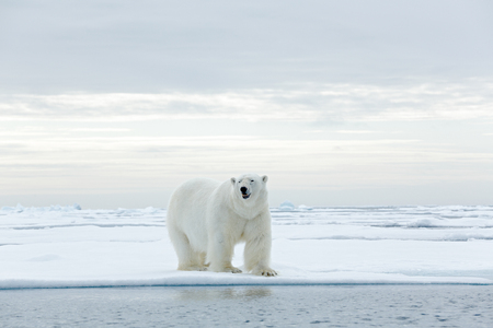polar bear on ice: Big polar bear on drift ice edge with snow a water in Arctic Svalbard