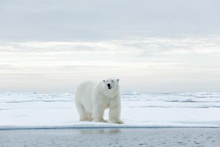 oso: Gran oso polar en el borde deriva del hielo con la nieve en un agua ártico de Svalbard