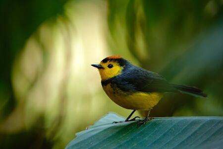 vested: Yellow and red headed songbird Collared Redstart, Myioborus torquatus, Savegre, Costa Rica