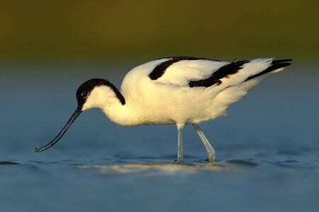 wader: Pied Avocet, Recurvirostra avosetta, black and white wader bird in blue water, submerged head, France
