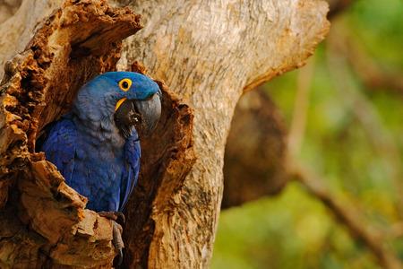 Big blue parrot Hyacinth Macaw, Anodorhynchus hyacinthinus, in tree nest cavity, Pantanal, Brazil, South America