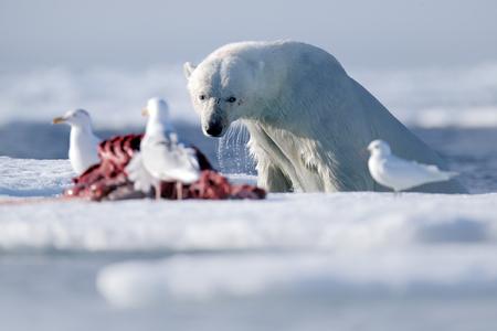 carcass: Surfacing dangerous polar bear in the ice with seal carcass