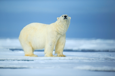 Polar bear, dangerous looking beast on the ice with snow in north Russia