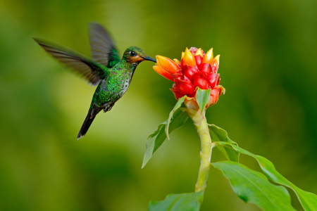 beija-flor Brilhante-de-coroa-verde, Heliodoxa jacula, pássaro verde da Costa Rica voando ao lado de linda flor vermelha com fundo claro, habitat natural, cena de alimentação de ação