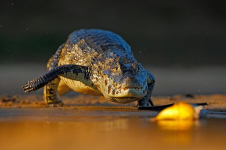 piranha: Yacare Caiman, crocodile hunting fish piranha with evening sun in the river, Pantanal, Bolivia Stock Photo