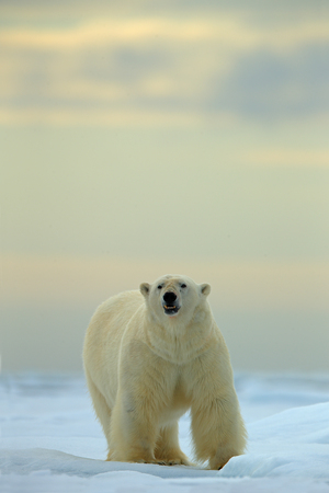 risky behavior: Polar bear on the snow and ice in Svalbard, looking dangerous Stock Photo