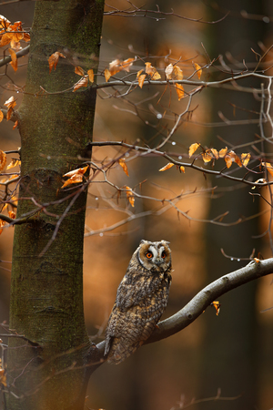 Long-eared Owl with orange oak leaves during autumn, bird in habitat