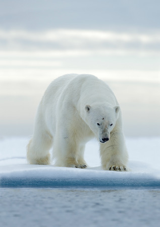 Big white polar bear, on drift ice with snow, Svalbard, Norway