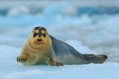 Bearded seal on blue and white ice in arctic Svalbard, with lift up fin
