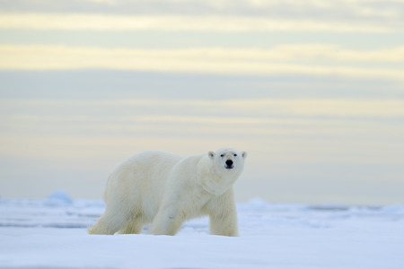 Big polar bear on drift ice with snow, blurred nice yellow and blue sky in background, Svalbard, Norway