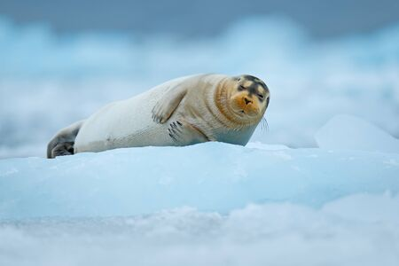 Bearded seal on blue and white ice in Arctic Finland, with lift up fin