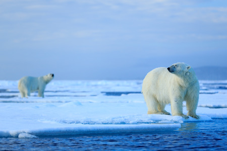 polar bear on ice: Polar bear couple cuddling on drift ice in Arctic Svalbard
