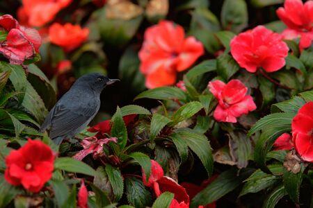 slaty: Dark grey bird Slaty Flower-piercer, Diglossa plumbea, in red flowered bloom, Savegre, Costa Rica