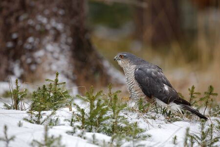 sparrowhawk: Birds of prey Eurasian sparrowhawk, Accipiter nisus, sitting on snow in the forest, tree trunk in background Stock Photo