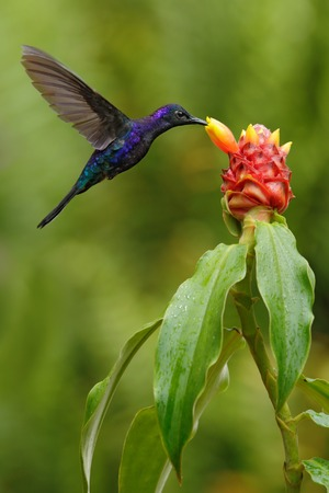 Dark blue hummingbird Violet Sabrewing from Costa Rica flying next to beautiful red flower Фото со стока