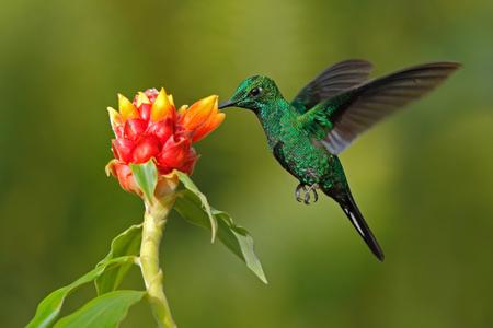 Groene kolibrie Groen-bekroonde Briljant, heliodoxa jacula, uit Costa Rica vliegen naast prachtige rode bloem met duidelijke achtergrond Stockfoto