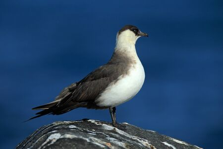 Marine bird Arctic Skua, Stercorarius parasiticus, sitting on stone with dark blue sea at backgrond, Svalbard