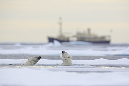 Fight of polar bears in water between drift ice with snow, blurred cruise chip in background, Svalbard, Norway Stock Photo