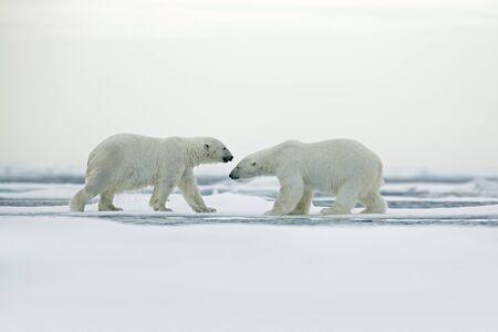 cuddling: Polar bear couple cuddling on drift ice in Arctic Svalbard