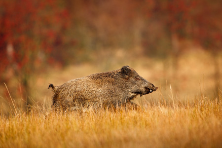 Big Wild boar, Sus scrofa, running in the grass meadow, red autumn forest in background Stockfoto