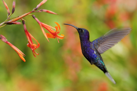 Hummingbird Violet Sabrewing flying next to beautiful orange flower, blurred flower garden in background, La Paz, Costa Rica Фото со стока