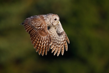 Flying Eurasian Tawny Owl, Strix aluco, with nice green blurred forest in the background