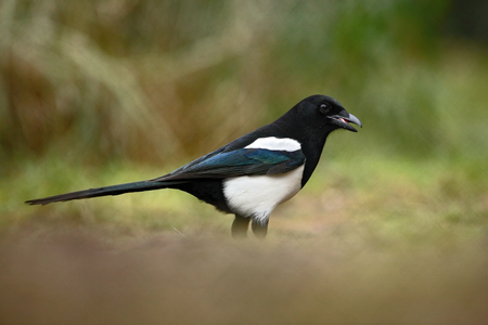 pica: European Magpie or Common Magpie, Pica pica, black and white bird with long tail, in the nature habitat, clear background, Germany Stock Photo