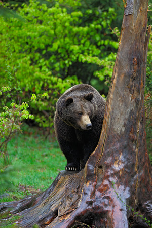 male killer: Brown bear, Ursus arctos, hideen behind the tree trunk in the forest