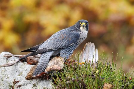 Bird of prey Peregrine Falcon kill pheasant feeding on the rock with yellow autumn background in the background Stock Photo