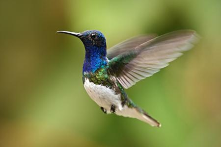 Flying blue and white hummingbird White-necked Jacobin from Ecuador
