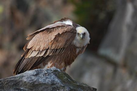 birds of prey: Griffon Vulture, Gyps fulvus, Big birds of prey sitting on the stone, rock mountain, France
