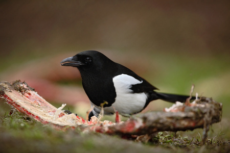 pica: European Magpie or Common Magpie, Pica pica, black and white bird with long tail, in the nature habitat, feeding bloody rib, Germany Stock Photo