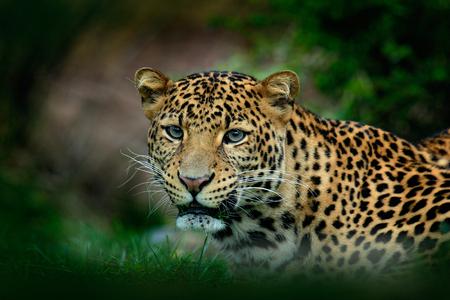 pardus: Javan leopard, Panthera pardus melas, portrait of cat