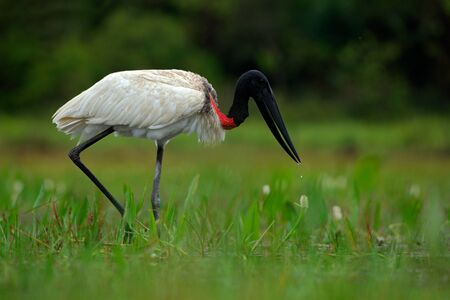 Jabiru, Jabiru mycteria, black and white in the green water with flowers, Pantanal, Brazil
