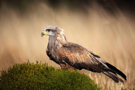 milvus: Brown bird of prey black kite, Milvus migrans, on moss hillock in march