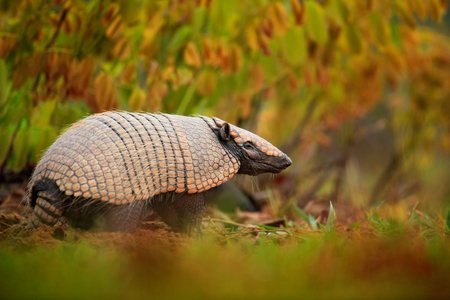 rare animal: Southern Naked-tailed Armadillo, Cabassous unicinctus, strange rare animal with shell in the nature habitat, Pantanal, Brazil