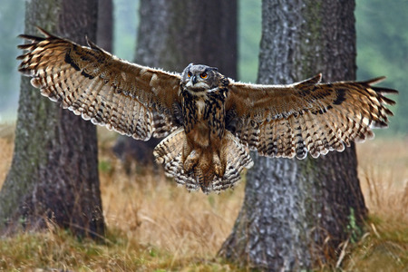 Volar Eurasiática de búho con las alas abiertas en el hábitat de bosque con árboles, amplio ángulo de la foto de la lente