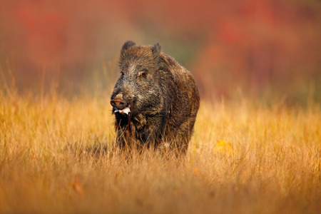 sus: Big Wild boar, Sus scrofa, running in the grass meadow, red autumn forest in background Stock Photo