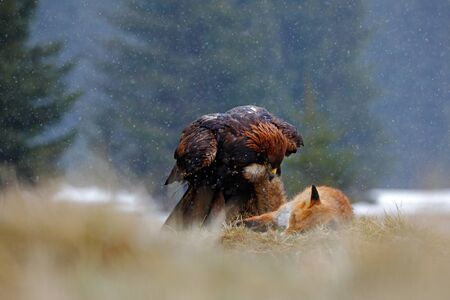 bird eating raptors: Golden Eagle, feeding on kill Red Fox, tail in the bill, in the forest during the rain Stock Photo