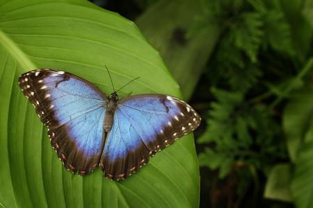 mariposa azul: azul hermosa mariposa azul de Morpho, peleides de Morpho, que se sientan en las hojas verdes, Costa Rica