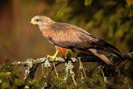 black kite: Black Kite, Milvus migrans, brown bird of prey sitting larch tree branch, animal in the habitat