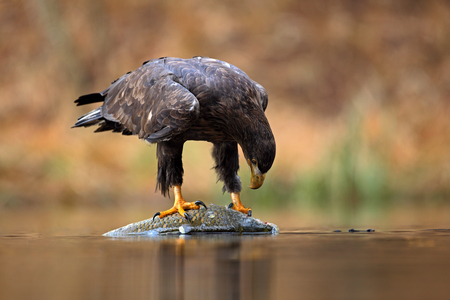 haliaeetus: White-tailed Eagle, Haliaeetus albicilla, feeding kill fish in the water, with brown grass in background