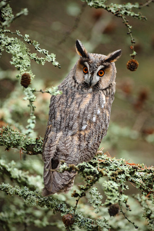 Long-eared Owl sitting on the branch in the fallen larch forest during autumn Фото со стока