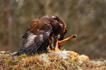 bird eating raptors: Golden Eagle, Aquila chrysaetos, bird of prey with kill red fox on stone, photo with blurred orange autumn forest in the background, Norway