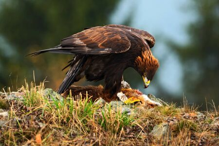bird eating raptors: Golden Eagle, feeding on kill Red Fox, in the nature forest habitat, Norway
