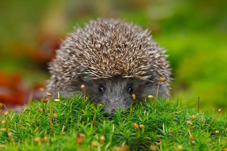 hedgehog: West European Hedgehog in green moss with orange background during autumn Stock Photo
